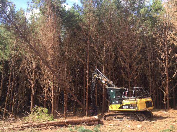 Derrubada das árvores com cabeçote Feller2