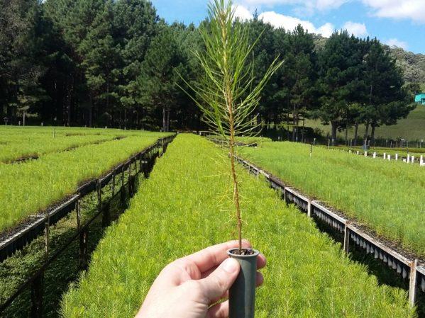 Muda de Pinus taeda, produzida no viveiro