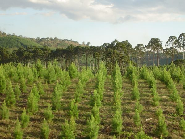 Plantio Pinus taeda (Paulo, por favor cortar ou deletar data)
