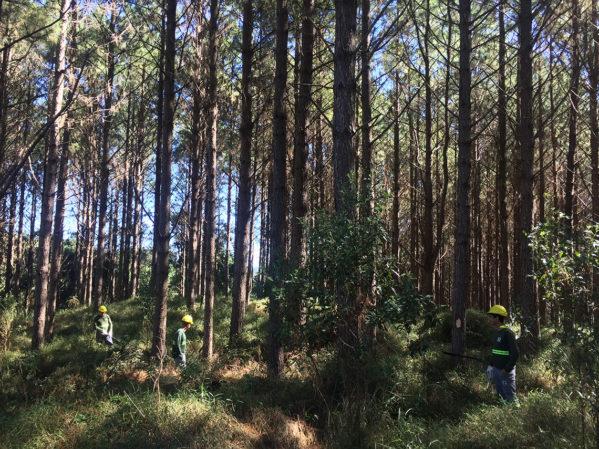 Seleção de árvores para 1o desbaste