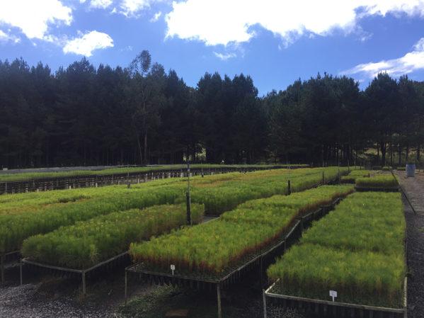 Viveiro com mudas de Pinus taeda e patula